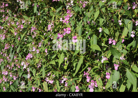 Himalayan or Indian Balsam (Impatiens glandulifera) an invasive non native plant growing in the UK