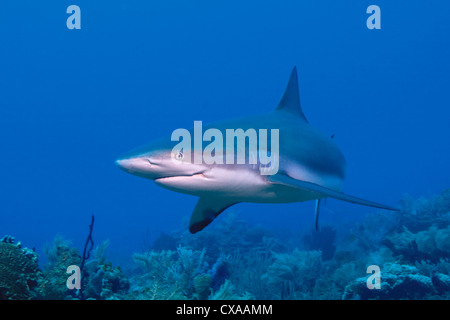 A Caribbean Reef Shark (Carcharhinus perezi) at the Swan Islands off the coast of Honduras. - Stock Photo