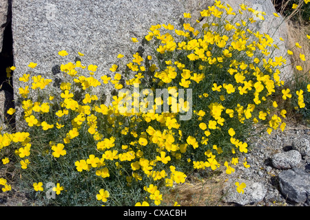 Mexican gold poppy blooming in California. - Stock Photo