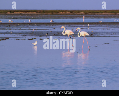 Two white flamingos walking in the water by sunset - Stock Photo