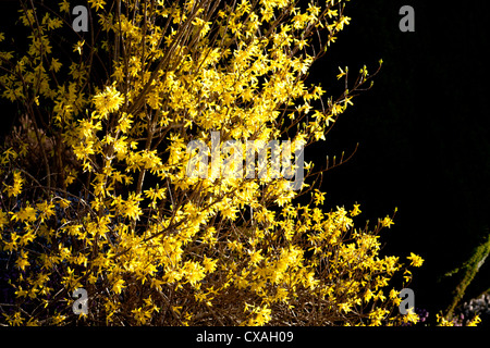 Winter Forsythia (Forsythia x intermedia) flowering in early Spring. Garden shrub. Powys, Wales. march - Stock Photo
