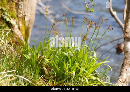 Greater Wood-rush (Luzula sylvatica) flowering beside a river. Powys, Wales. April. - Stock Photo