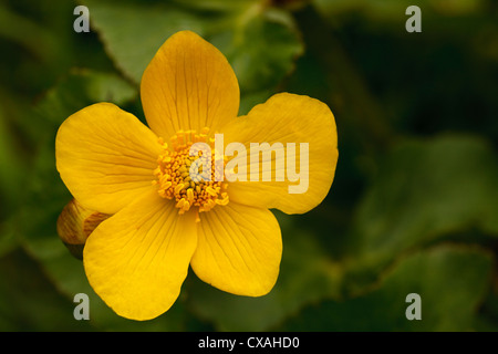 Kingcup or Marsh Marigold (Caltha palustris) flower. Powys, Wales. May - Stock Photo