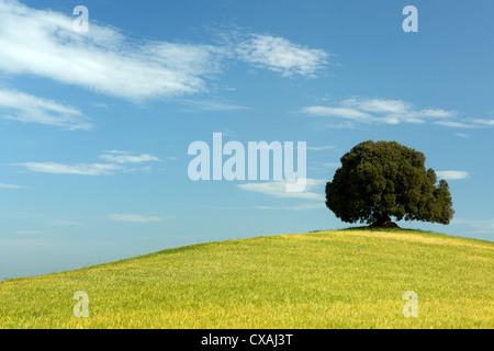 Single oak tree standing in a Tuscan wheat field on a hill - Stock Photo
