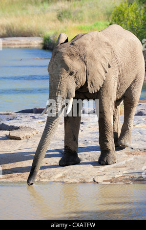 Elephant drinking, Pilanesberg National Park, Sun City, South Africa, Africa - Stock Photo