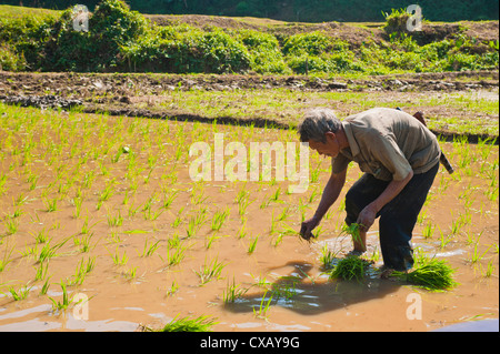 Rice paddy field worker from the Lahu tribe planting rice in rice paddies near Chiang Rai, Thailand, Southeast Asia, - Stock Photo