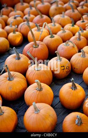 Large number of pumpkins for sale on a farm in St. Joseph, Missouri, United States of America, North America - Stock Photo