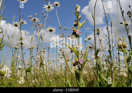 Bee orchid (Ophrys apifera) flowering in hay meadow alongside ox-eye daisies (marguerites) (Leucanthemum vulgare), - Stock Photo
