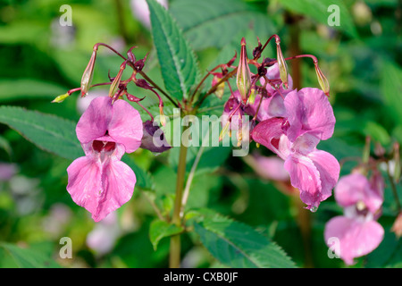Himalayan balsam (Impatiens glandulifera) flowers and seed pods, Wiltshire, England, United Kingdom, Europe - Stock Photo