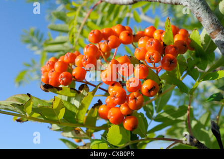 Rowan (mountain ash) (Sorbus aucuparia) berry cluster, Wiltshire, England, United Kingdom, Europe - Stock Photo