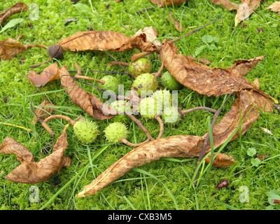 green, spiky capsules with conkers from horse-chestnut / grüne, stachelige Kapseln mit Samen der Rosskastanie - Stock Photo