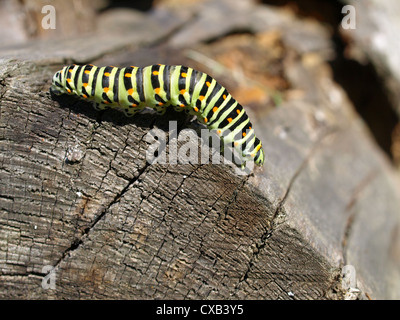 caterpillar from old world swallowtail / Papilio machaon / Raupe vom Schwalbenschwanz - Stock Photo