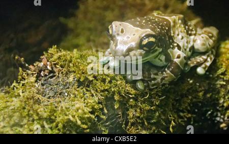 Amazon Milk Frog - Phrynohyas resinfictrix - Stock Photo