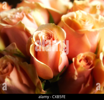 A Close Up of Peach, Tangelic Roses - Stock Photo