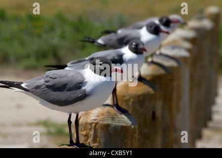 Laughing Gull at the bay of Corpus Christi, Texas, USA. - Stock Photo