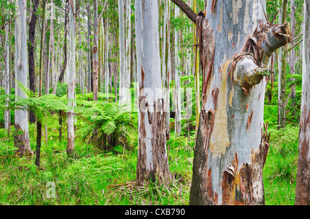 Eucalypt forest in Werrikimbe National Park. - Stock Photo