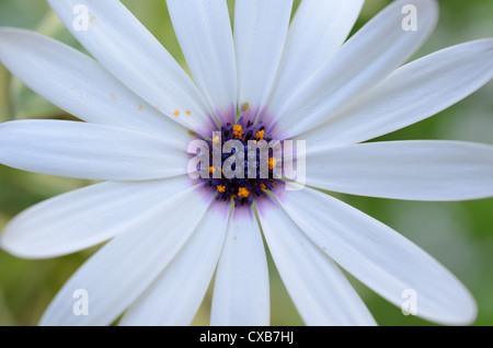 Blue eyed Daisy or African Daisy - Stock Photo