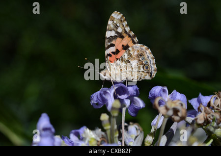 Painted Lady feeding on nectar perching on lilac blue flower - Stock Photo