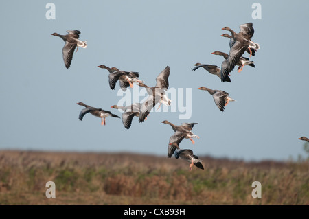 Greylag Goose, anser anser, small group of birds whiffling down to coastal grazing area, Norfolk, England, September - Stock Photo