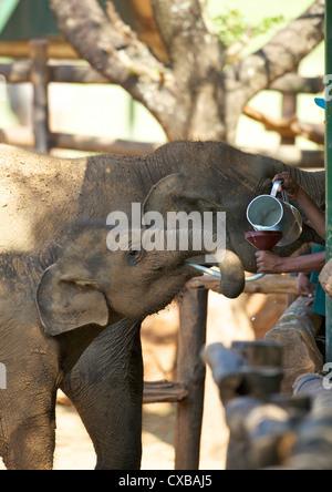Baby Asian elephants being fed, Uda Walawe Elephant Transit Home, Sri Lanka, Asia - Stock Photo