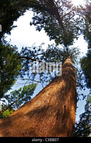 Giant Redwood (Sequoiadendron giganteum), Royal Botanic Gardens, Kew, London, England, United Kingdom, Europe - Stock Photo