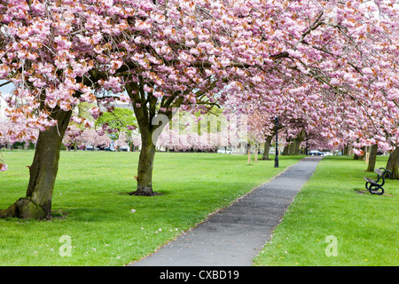 Cherry blossom on The Stray in spring, Harrogate, North Yorkshire, Yorkshire, England, United Kingdom, Europe - Stock Photo