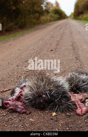 A dead porcupine run over by a careless driver on a rural road. - Stock Photo