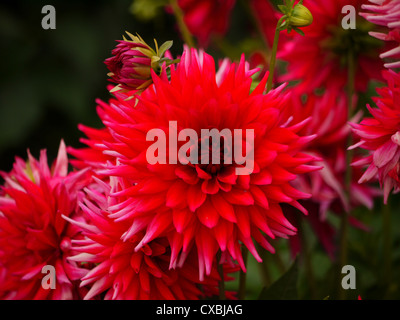 Red tipped with pink dahlias in bloom - Stock Photo