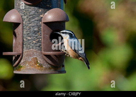 Red-breasted Nuthatch (Sitta canadensis) perched on a bird feeder at Nanaimo, Vancouver Island, BC, Canada in September - Stock Photo