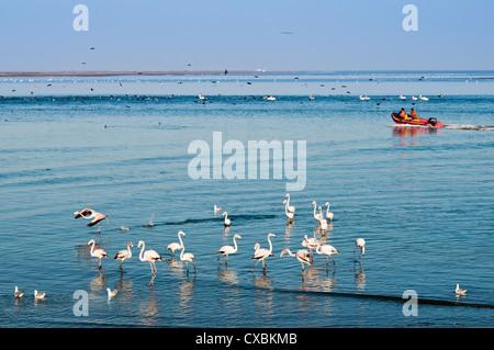 Greater flamingos (Phoenicopterus ruber roseus), Walvis Bay, Erongo Region, Namibia, Africa - Stock Photo