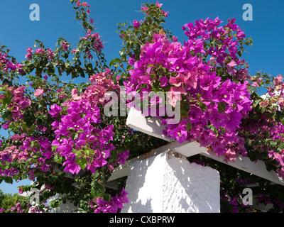 pink bougainvillea flowers, santorini, greece - Stock Photo