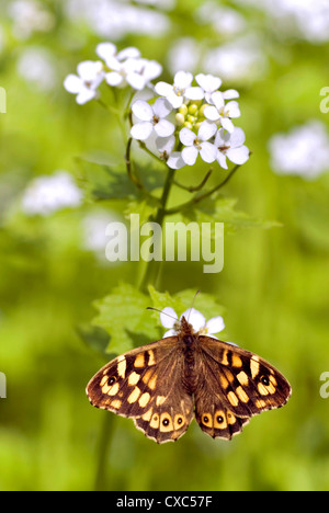 Closeup speckled wood (Pararge aegeria) seen from above on flower (officinale Alliaria) - Stock Photo