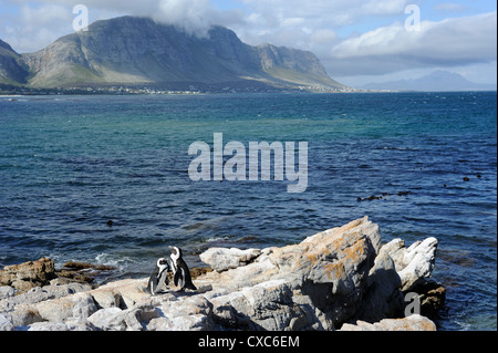 African penguins, Betty's Bay, Cape Province, South Africa, Africa - Stock Photo
