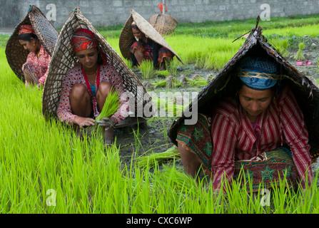 Female farmers at work in rice nursery, with rain protection, Annapurna area, Pokhara, Nepal, Asia - Stock Photo