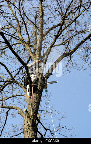 lumberjack high in a tree with rope-climbing protection harnesses and saw chain - Stock Photo