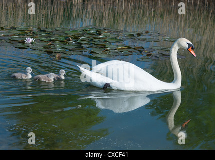 Mute swan with cygnets amongst the lily pads, Cambridgeshire, England. - Stock Photo