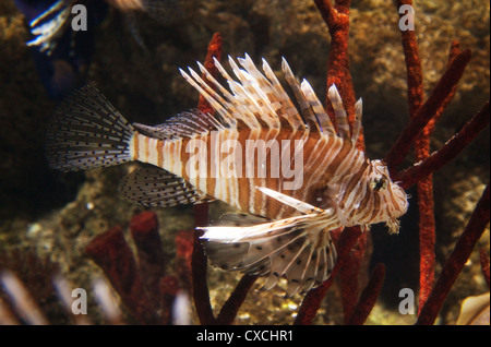 Lionfish (Pterois), the London Aquarium, South Bank, London UK - Stock Photo