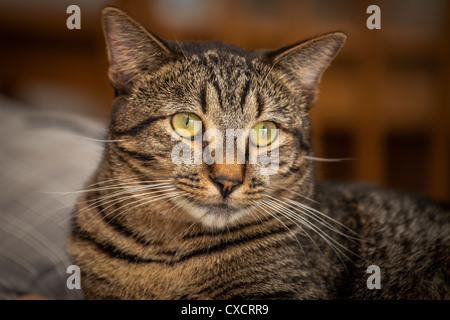 A portrait of a handsome male tiger striped gray brown and black adult cat with amber colored eyes staring into - Stock Photo