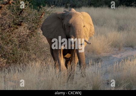 Desert elephant (Loxodonta africana), Skeleton Coast National Park, Namibia, Africa - Stock Photo