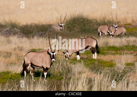 Gemsbok (Oryx gazella), Palmwag Concession, Damaraland, Namibia, Africa - Stock Photo