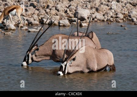 Gemsbok oryx (Oryx gazella gazella), Etosha National Park, Namibia, Africa - Stock Photo