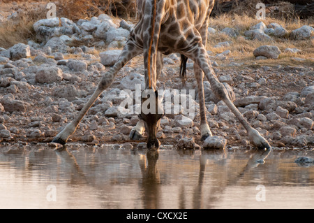 Giraffe (Giraffa camelopardalis) drinking, Etosha National Park, Namibia, Africa - Stock Photo