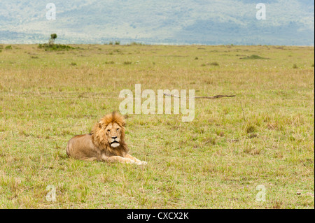 Lion (Panthera leo), Masai Mara, Kenya, East Africa, Africa - Stock Photo