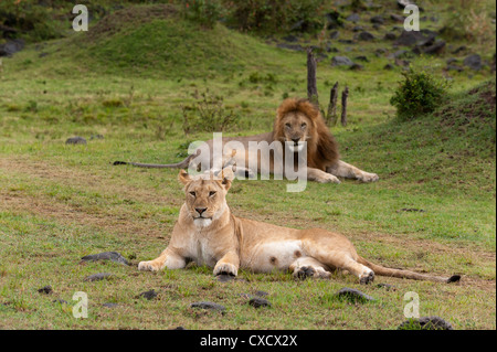 Lion (Panthera leo), Masai Mara, Kenya, East Africa, Africa - Stock Photo