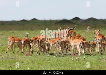 Impala (Aepyceros melampus), Masai Mara, Kenya, East Africa, Africa - Stock Photo