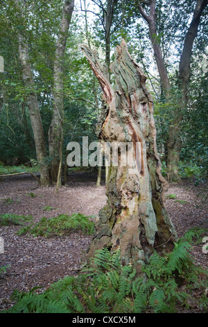 Ancient broad leaf oak woodland The Thicks Staverton forest, Suffolk, England - Stock Photo