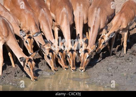 Impala (Aepyceros melampus), females at waterhole, Mkhuze Game Reserve, South Africa, Africa - Stock Photo