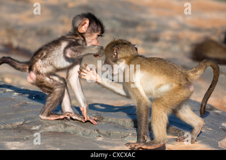 Baby chacma baboons (Papio cynocephalus ursinus), playfighting, Kruger National Park, South Africa, Africa - Stock Photo