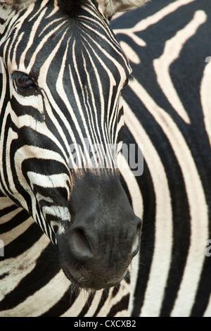 Burchell's (plains) zebra (Equus burchelli), Mhkuze Game Reserve, KwaZulu Natal, South Africa, Africa - Stock Photo