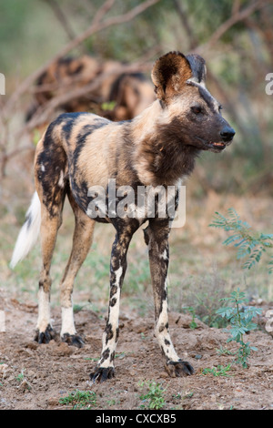 African wild dog (Lycaon pictus), Kruger National Park, South Africa, Africa - Stock Photo
